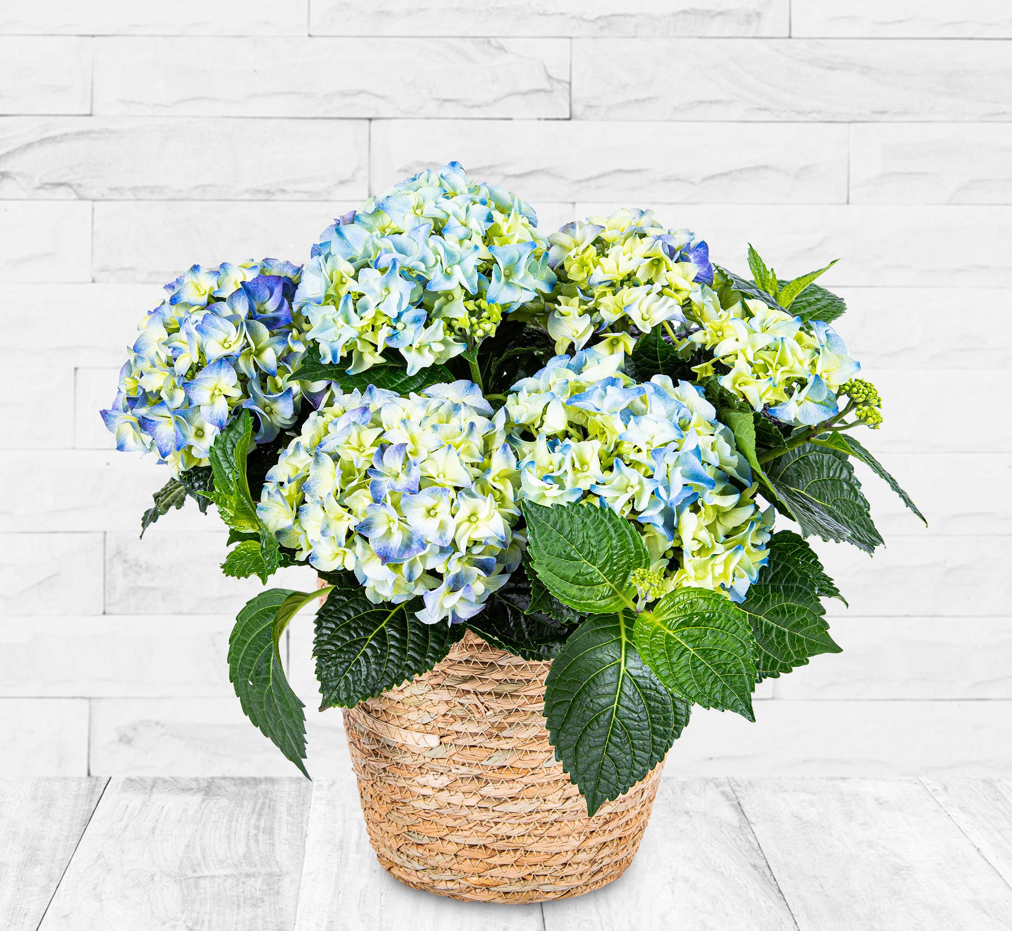 Summer Hydrangea Plant