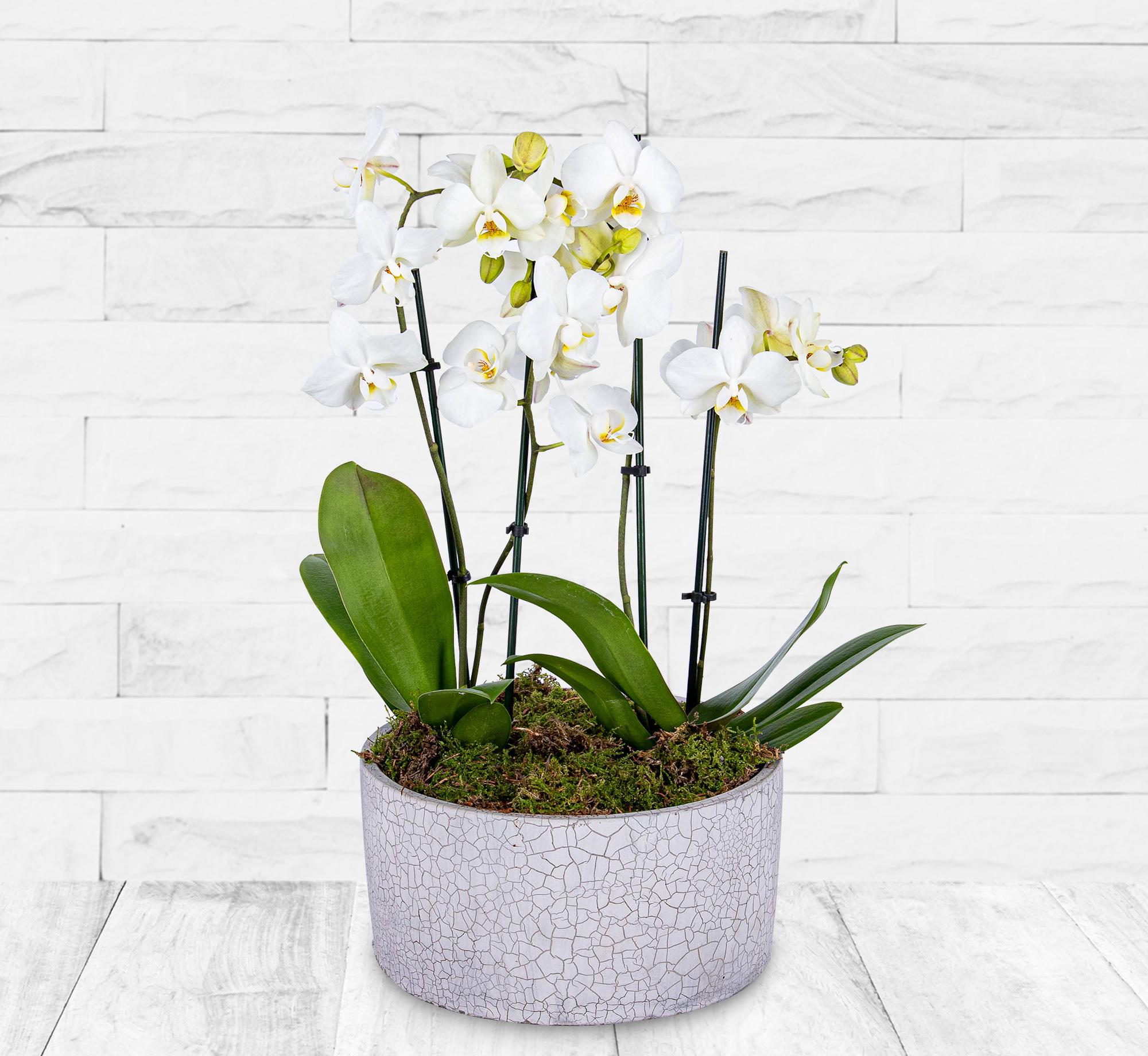 Luxury Orchid Pot