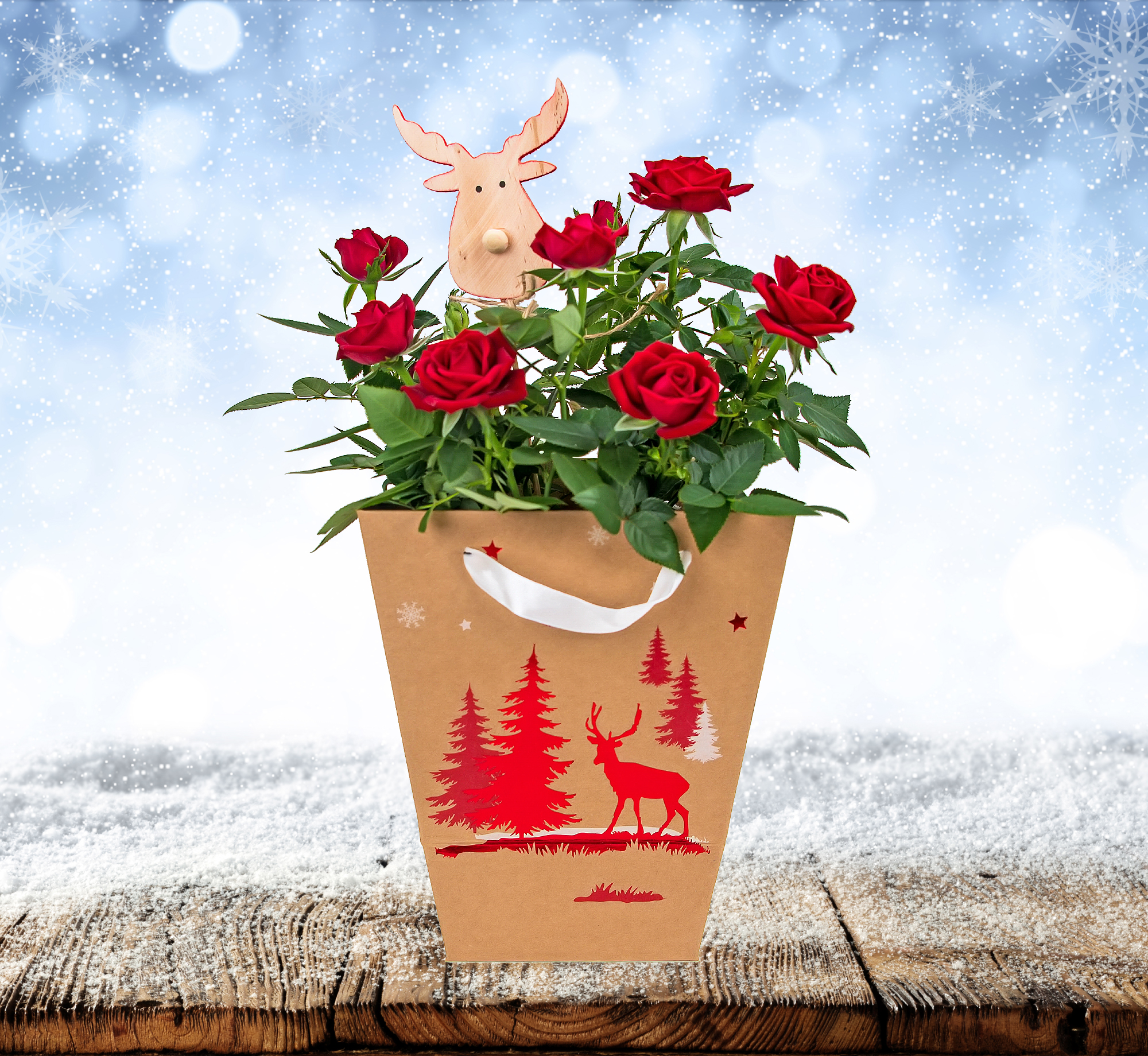 Festive Rose Plant