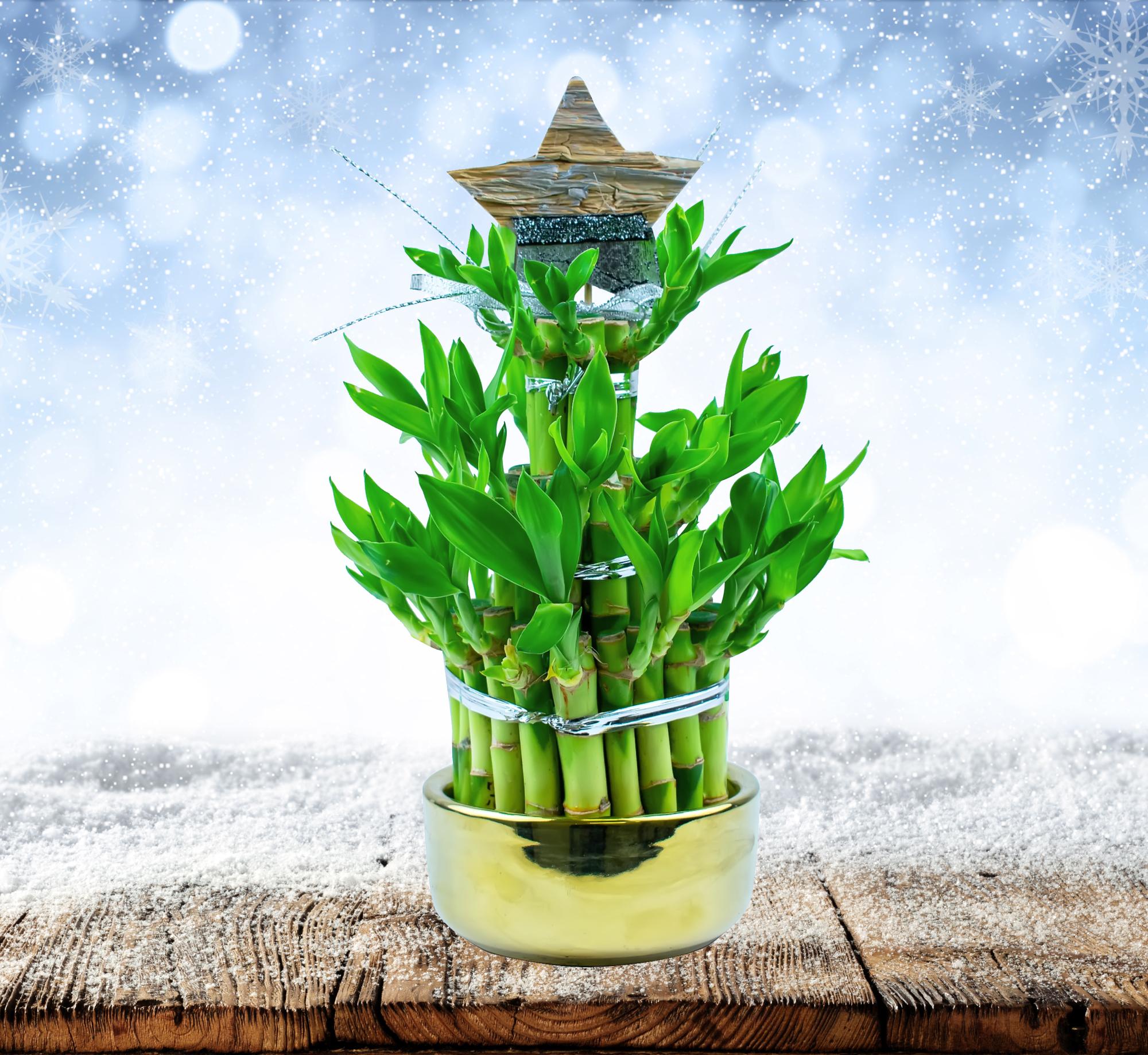 Christmas Bamboo