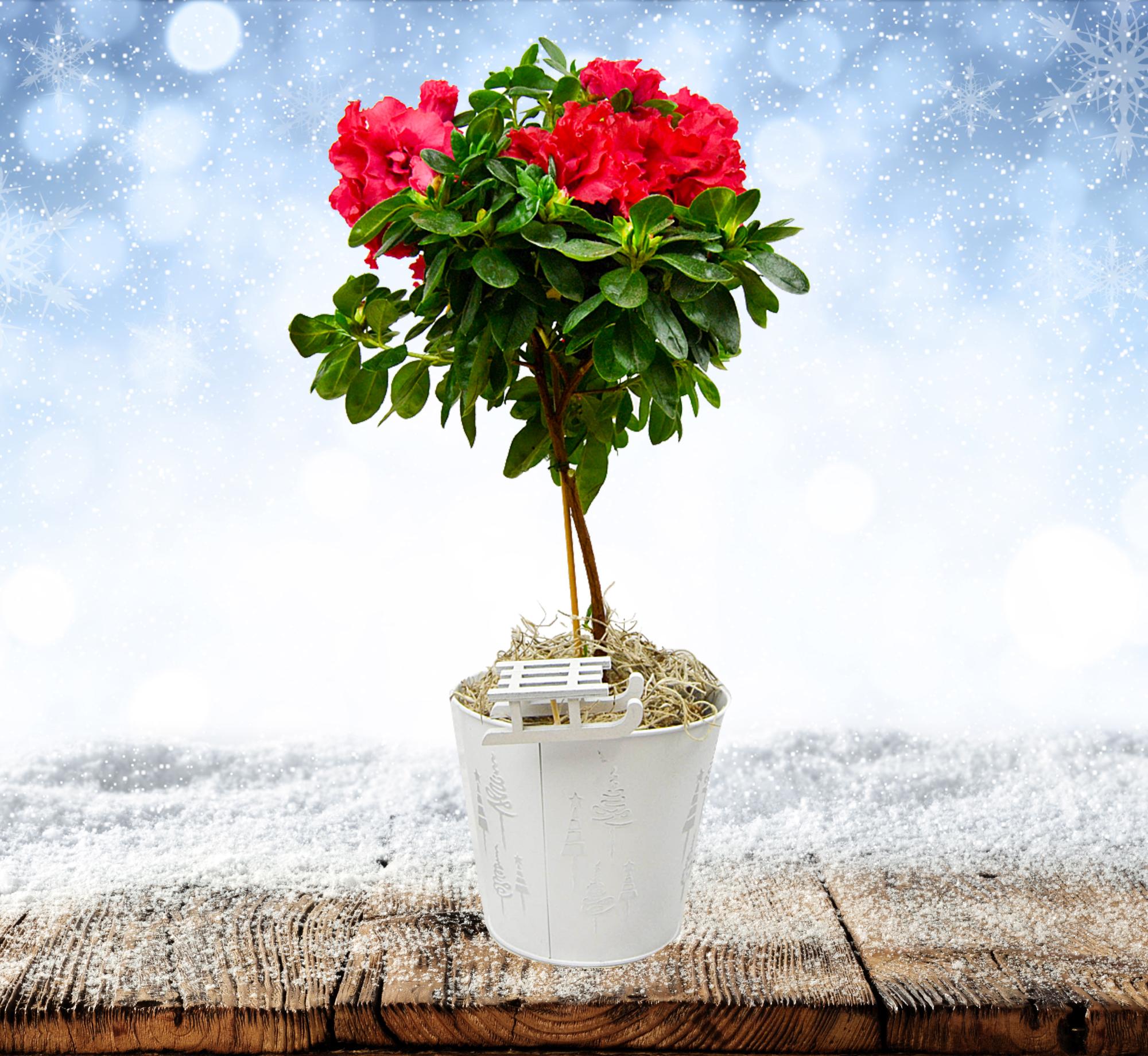 Mini Azalea Tree